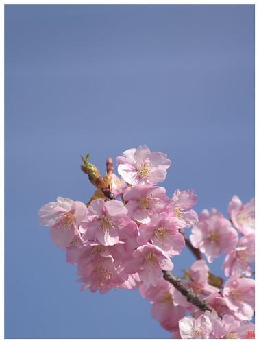 Cherry blossoms 090305 #02