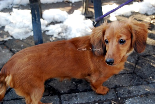 long haired dachshund photos. long haired dachshund puppy.