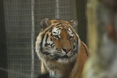 IMG_1653 (richardkortland) Tags: tijger rhenen dierenpark ouwehand