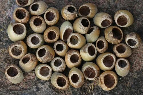 Nuts eaten by dormice