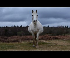 see you later (romorga) Tags: life uk trees wild england horse white english nature weather animal clouds canon eos rebel grey stand nationalpark mare wildlife central hampshire pregnant explore pony heath british cavalo 2009 soe newforest naturalworld mammalia equine hest feral hevonen paard southernengland hst southeastengland galope  hants ko equidae chevel newforestpony perissodactyla k equids equid boggeddown 450d newforesthampshire  britishnature hampsjire feralpony goldstaraward  newforesthorse  innoc romorga addictedtophotograph centralsouthernengland vthenewforest ferelhorse newforestengland newforestsoutheastengland newforesthampshireengland