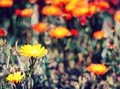 hbw. (*northern star°) Tags: flowers orange plants flower nature yellow canon garden 50mm bokeh natura amarillo gelb giallo fiori fiore piante naranja arancio giardino arancione northernstar donotsteal eos450d ©allrightsreserved hbw northernstarandthewhiterabbit northernstar° digitalrebelxsi eff18ii usewithoutpermissionisillegal northernstar°photography ifyouwannatakeitforpersonalusesnotcommercialusesjustask