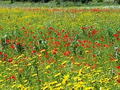 Nel campo (mariarbara) Tags: primavera giallo rosso papaveri