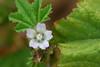Small Flowered Mallow (David Lev) Tags: plants macro weed mygarden wildflower soe malva nirim shieldofexcellence diamondclassphotographer