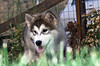 Husky Malamute (Piero Gentili) Tags: dog puppy husky malamute soe cucciolo puppie cagnolino gentili goah platinumphoto ultimateshot rubyphotographer piero20051 pierogentili gentilipiero pierpaologentili huskymalamut