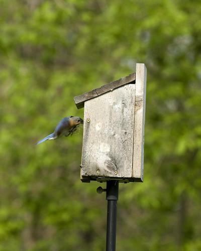 BluebirdSpringdale05052009JGWardIMG_0639