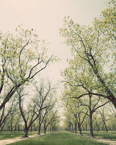 Pecan Orchard in Spring