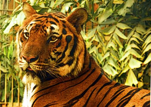 Tiger Comic Sans