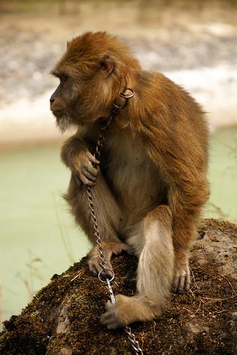 ลิงป่า