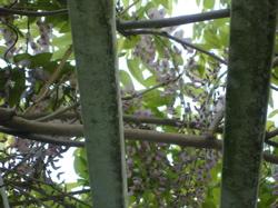 wisteria close