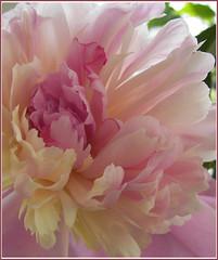 petals of peony.... (bbic) Tags: flower peony soe rosepetal naturesfinest bujor abigfave theperfectphotographer mindigtopponalwaysontop photographersworldbestfriends