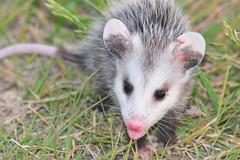 Opossum Kansas baby creek opossum kansas