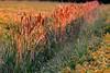 Canneto (nelventredellabalena) Tags: italy tramonto campo colori friuli canne pordenone prati canneto sestoalreghena yourcountry nelventredellabalena