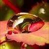 ~ Today,  it rains ~ (ViaMoi) Tags: macro rose canon leaf drop tamron90mm digitalcameraclub 40d 3xfilter viamoi 100commentgroup saariysqualitypictures