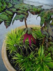 Podophyllum delavayi flower
