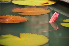 Lily's Pads (mendhak) Tags: wallpaper reflection gardens geotagged botanical leaf pond singapore flickr lily lotus explore sgp 新加坡植物园 maybeitneedstobecropped geo:lat=131010442 geo:lon=10381740219 mendhakwallpaper mendhakwebsite