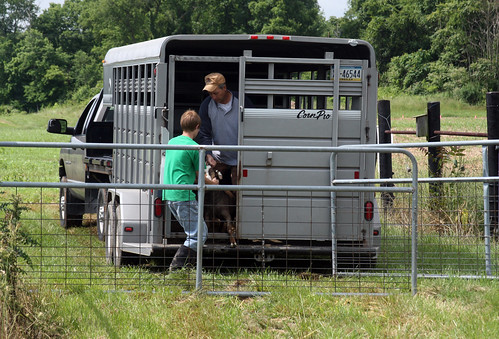 Unloading goats