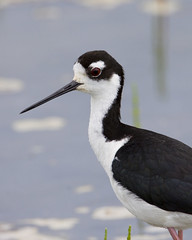 Black-necked Stilt Family (Dah Professor) Tags: bird assateague tk birdphoto avianexcellence slbfeedingyoung kh0831