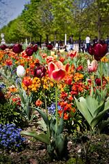 Flores Paris (Luiz Ferreira) Tags: flowers paris france flores europe concorde tulipas 1starrondissement luizferreira