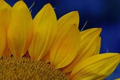 Sunflower on blue (natureloving) Tags: blue colour macro nature fleur yellow nikon dof bleu sunflower afsvrmicronikkor105mmf28gifed fleurdetournesol d40x natureloving flowersinfrance flowersonblue imagesonblue fleursenfrance