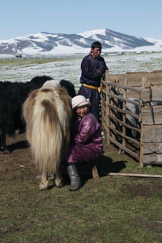 The morning routine: milking yaks