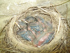 Baby Birds (June 21 2009) (JRBooth) Tags: birds nest robins hatchlings babybirds