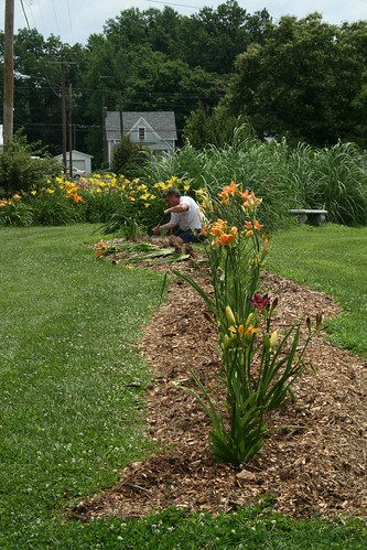 planting new daylilies