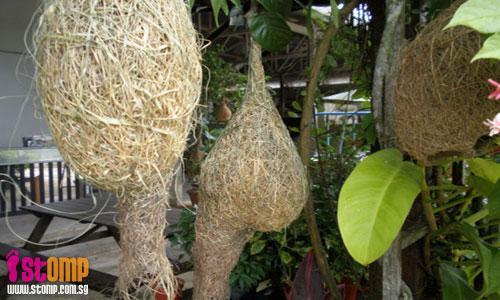 Weaver bird nests spotted at Lim Chu Kang fish farm