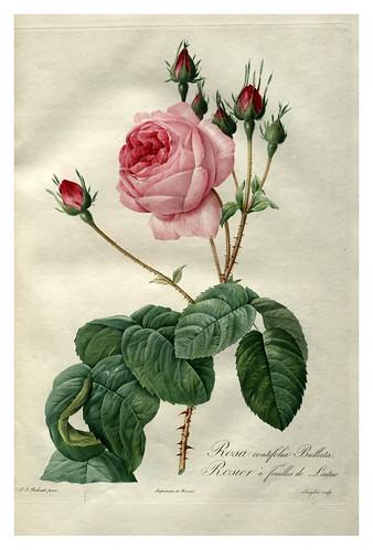 001-Les roses 1817-1824- Pierre-Joseph Redouté