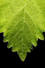 Self Similarity (PhotoToasty) Tags: nature fruit leaf veins grape selfsimilarity