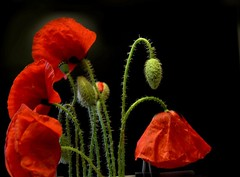 poppies on black (ana.gr.) Tags: red black rojo poppy amapolas ababoles
