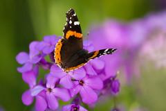 #ds190 (Sharon Drummond) Tags: ontario flower butterfly purple moth dailyshoot