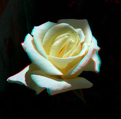 White Rose_Anaglyph 3D picture: You need Red/C...