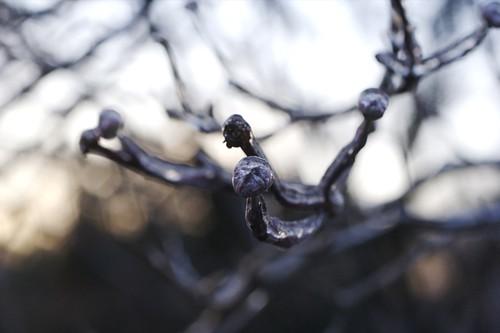 frozen dogwood I
