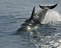 Pressure wave (ScottS101) Tags: california wild mammal marine dolphin wildlife delphi wave surface common pressure delfin tension marinemammal delphinus voices cetacean