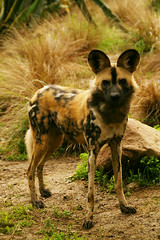 African Wild Dog (MickiP65) Tags: california africa wild portrait usa dog dogs nature animal animals portraits mammal zoo la us losangeles wildlife exhibit creation socal northamerica endangered lazoo creatures creature mammals 2009 exhibits animalia mammalia attraction allrightsreserved attractions losangeleszoo zoos africanwilddog copyrighted lycaon lycaonpictus animalportrait carnivora animalportraits africanhuntingdog chordata canidae capehuntingdog spotteddog canoneos30d africanwilddogs paintedhuntingdog michellepearson paintedwolf wildehond canoneod30d caninae lpictus 012409 01242009 jan2402009 africanpaintedwolf mbwamwilu