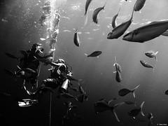 (Hani Amir) Tags: ocean sea bw white fish black water rainbow dive dude amir padi runner maldives crush hani mrc rainbowrunner orcadivers