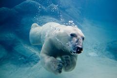 [フリー画像] [動物写真] [哺乳類] [熊/クマ] [白くま/シロクマ]       [フリー素材]