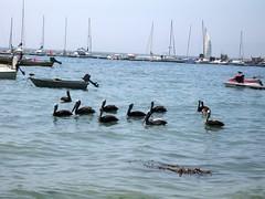 Pelicans in Algarrobo