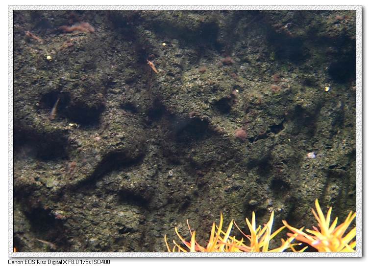 岩板上的黑毛藻