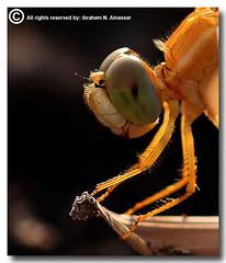 Dragonfly (ibrahem N. ALNassar) Tags: macro ex 30 canon eos dragonfly d n sigma kuwait f28 dg 30d 105mm ابراهيم الكويت كويت alnassar كويتي كانون ibrahem يعسوب النصار اليعسوب peregrino27macro