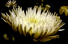Chrysanthemum (T i s d a l e) Tags: winter flower mum february chrysanthemum arrangers nikond40 tisdale53 floristcuts