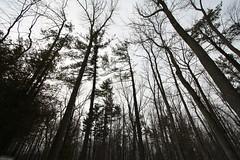 Creepy Trees (kenyaya) Tags: winter toronto ontario canada tree canon rebel xs theguild 1000d