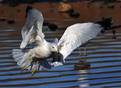 Equal Time For Gulls...Part One of Three (ozoni11) Tags: seagulls lake bird nature birds animal animals nikon seagull gull gulls lakes maryland columbiamaryland d300 lakekittamaqundi michaeloberman ozoni11