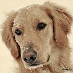 portrait (Fernanda Mero) Tags: winter portrait favorite dog brown snow beauty face fur stars gold star golden nikon flickr heart 10 award retriever views favourites 100 impressed awards platinum d80