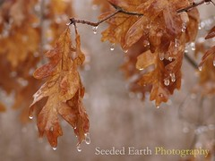 Oak Leaves, Dripping
