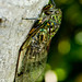 Cicadas - Photo (c) ~ Pil ~, some rights reserved (CC BY-NC-ND)
