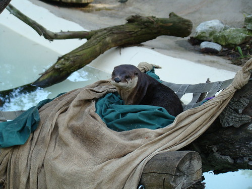 North American River Otter at the Los Angeles Zoo