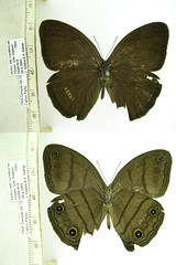 Megeuptychia monopunctata