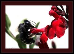 ~~~Beeutiful Bumble Bee~~~ (~~~Gasssman~~~) Tags: friends explore visualart wmp diamondclassphotographer flickrdiamond proudshopper spiritofphotography beyep daarklands